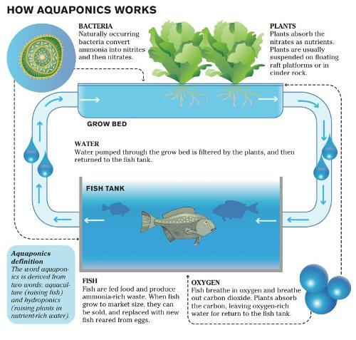 Introduction to aquaponics ingenuity innovation for How to cycle a fish tank